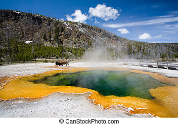 yellowstone national park - the emerald pool with bison...