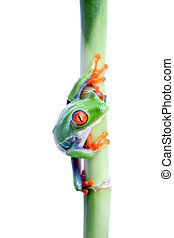 frog on bamboo isolated - red-eyed tree frog on bamboo...
