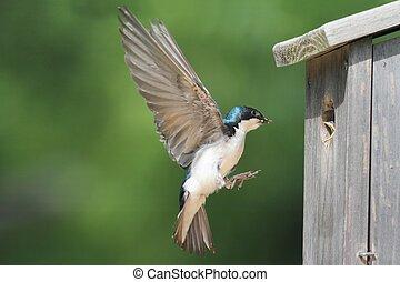 Tree Swallow Feeding Babies - Tree Swallow tachycineta...