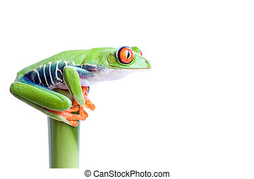 frog on top of the world - frog on top of bamboo, red-eyed...