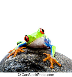 frog on rock - frog on a rock, a red-eyed tree frog...