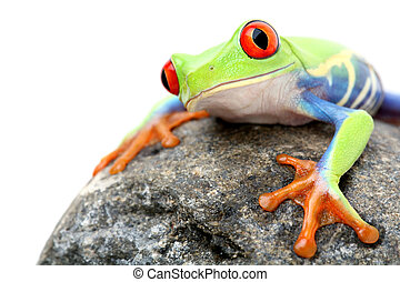 frog on a rock isolated - frog on a rock - a red-eyed tree...