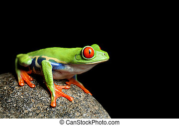 red-eyed tree frog isolated black