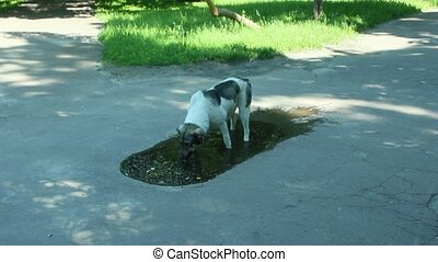 Big dog slaking its thirst in pool - Big dog drinking water...