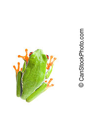 frog top view isolated on white, red-eyed tree frog...