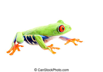frog isolated on white - a red-eyed tree frog Agalychnis...