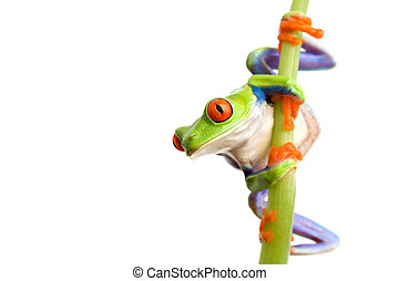 frog climbing on bamboo, closeup of red-eyed tree frog...