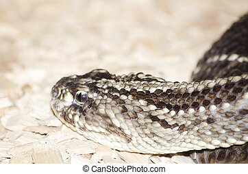 Gabon Viper - Photo of the Gabon Viper Over Beige