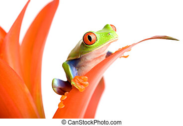frog on a plant - frog (red-eyed tree frog, Agalychnis...