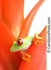 red-eyed tree frog (Agalychnis callidryas) in plant, macro...