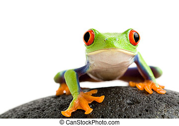frog on the rocks - frog on a wet rock - a red-eyed tree...