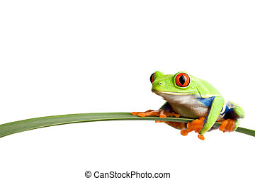 frog on a leaf - a red-eyed tree frog (agalychnis...