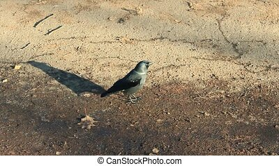 black jackdaw on the ground - black young jackdaw jumping on...