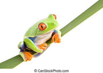 frog on a leaf isolated - red-eyed tree frog Agalychnis...