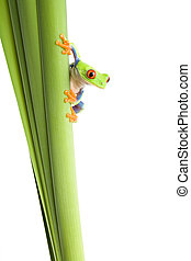 frog on plant isolated white - frog on a plant - a red eyed...