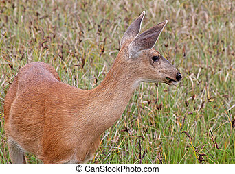 Black-tailed Deer on WA Coast 1