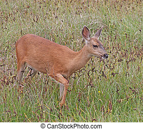 Black-tailed Deer on WA Coast 2