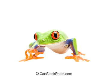 frog walking isolated on white - frog walking closeup...
