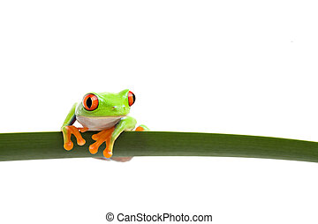 tree frog on a leaf - tree frog perched on a long slim leaf,...