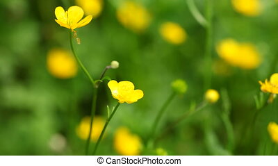 Yellow flowers - Anemone, windflower or (common) celandin...
