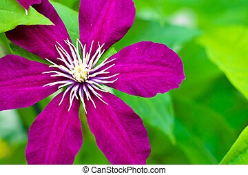 Clematis - Purple Clematis vine adds beauty and height to...