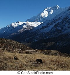 Grazing yaks and high mountain