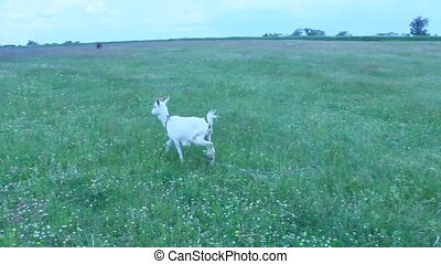 Goat standing on the pasture - white goat standing on the...