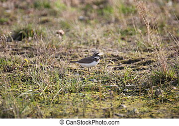 Little Ringed Plover - A little ringed plover living on a...