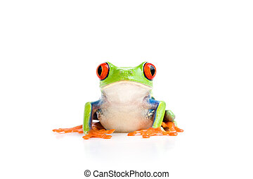 frog isolated on white - frog closeup - a red-eyed tree frog...
