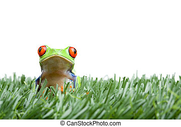 red-eyed tree frog in grass isolated - frog in the grass, a...