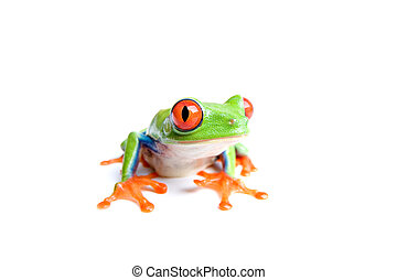 red-eyed tree frog isolated on white - red-eyed tree frog...