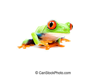 frog closeup on white - Frog closeup - a red-eyed tree frog...