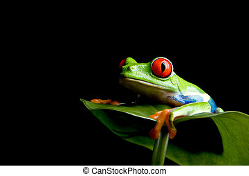 frog on a leaf isolated black - red-eyed tree frog...