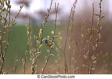 Pussy Willows With Blue Tit