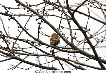 Yellowhammer -   Yellowhammer in Hesse, Germany.