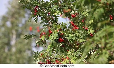 Rowan tree with red berry - Colourful Rowan tree Sorbus...