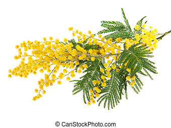 Mimosa branch close up, isolated on white
