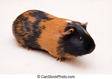 guinea pig - black and brown guinea pig sitting on a floor