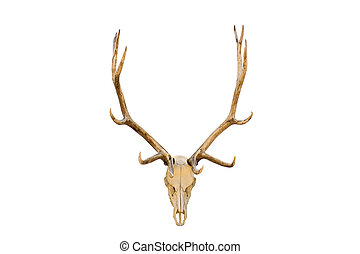 Elk skull isolated - elk skull with antlers closeup isolated...