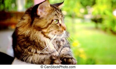 Maine Coon cat macro video with motion and approximation...
