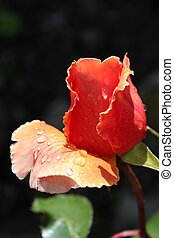 Peach Rose With Raindrops - Peach Rose highlighted by sun...