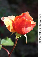 Peach Rose With Raindrops. - Peach rose highlighted by sun,...
