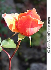 Peach Rose With Raindrops. - Vivid peach rose highlighted by...