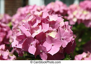 Hortensia pink flowers in close up