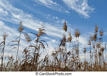 Reed grass - Landscape with reed grass and blue sky's