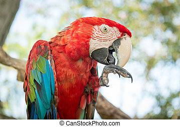 Blue and Red Macaw Parrot - Large Pet Blue and Red Macaw...