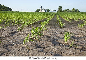 Corn field with water damage - Young corn in field with...