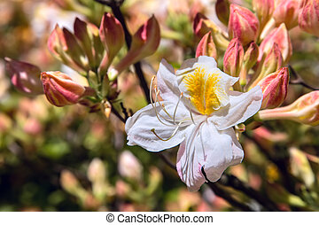 Blooming rhododendron - Close-up of a blooming white and...