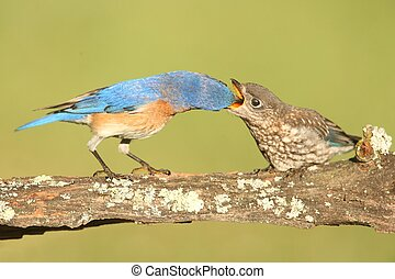 Eastern Bluebirds (Sialia sialis) - Eastern Bluebird (Sialia...