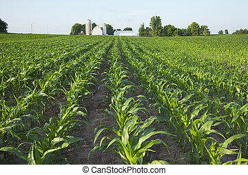Field of young corn with farm in background - A green field...
